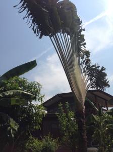 arbre du voyageur-Klongs-Bangkok